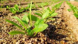 ほうれん草の育て方〜おすすめ肥料やプランターでの育て方も!