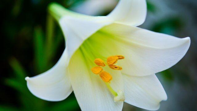 テッポウユリ(鉄砲百合)の育て方!育成条件から花が咲いた後の手入れまで