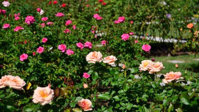 バラの育て方!栽培時期と苗選び・花が咲いた後の手入れまでをご紹介