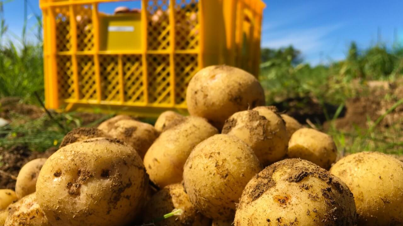 ジャガイモ の 肥料