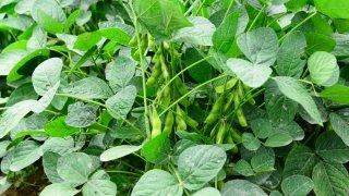 枝豆の種まきから収穫までの育て方!栽培時期や支柱立て 病気・害虫対策についても