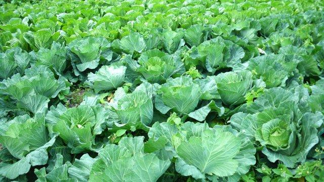 白菜の種まき〜収穫までの育て方!栽培時期や追肥方法・害虫対策について