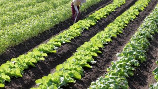 レタスの種まきから収穫までの育て方!栽培時期やかかりやすい病気についてもご紹介