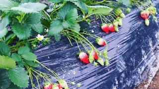 イチゴの種まきから収穫までの育て方!栽培時期や病気・害虫の対策など