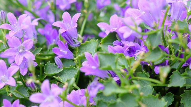 カンパニュラ(アルペンブルー)の育て方!植え付けから切り戻し・花が咲いた後の手入れまで