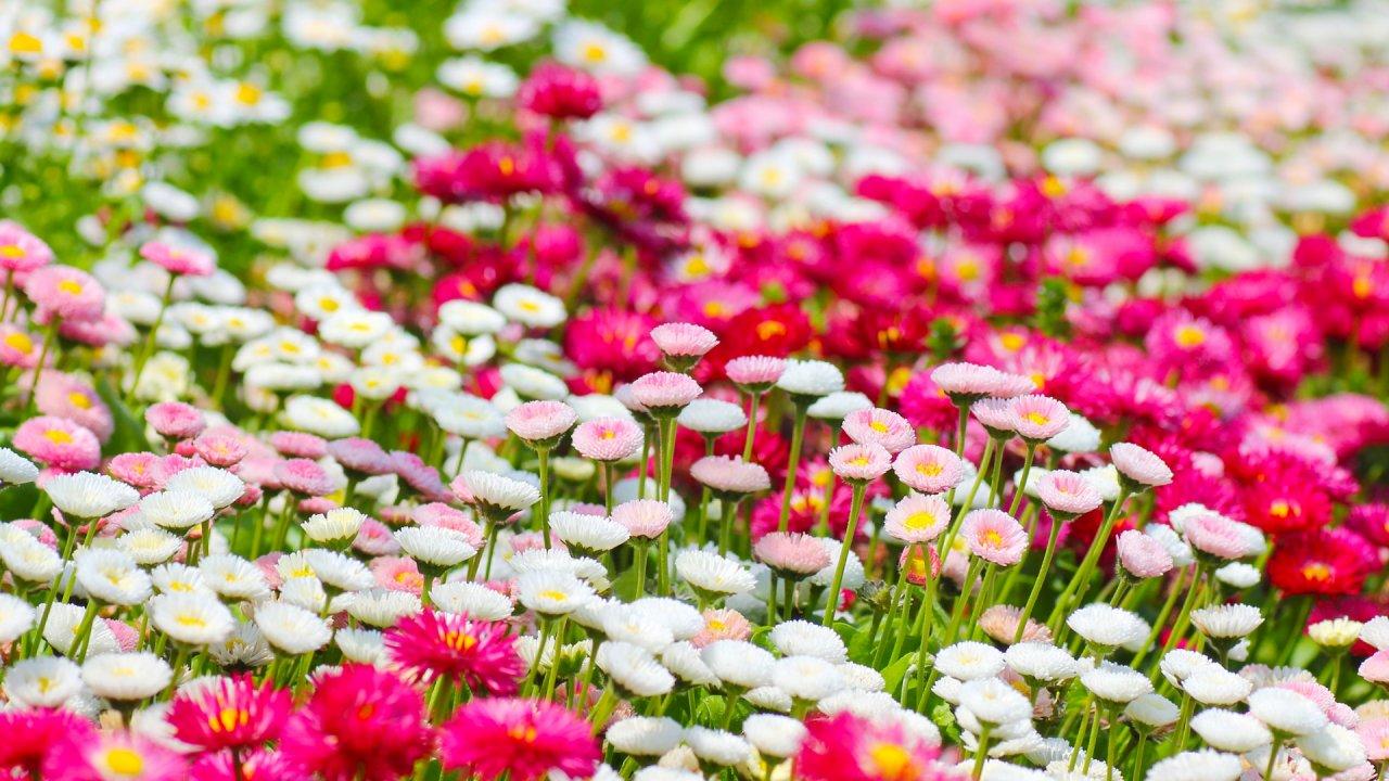 シャスターデージーの育て方!種まき〜花が咲いた後の手入れまでご紹介