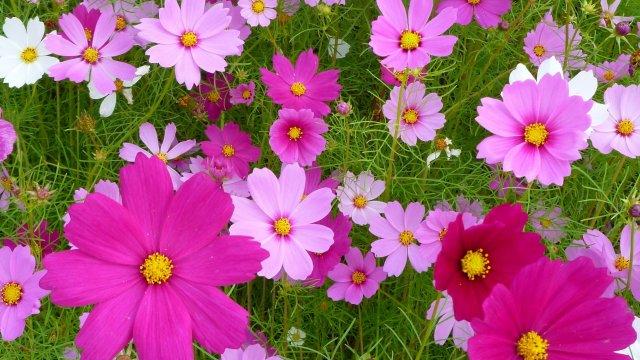 コスモスの種からの育て方!支柱や剪定・花が咲いた後の手入れまで!