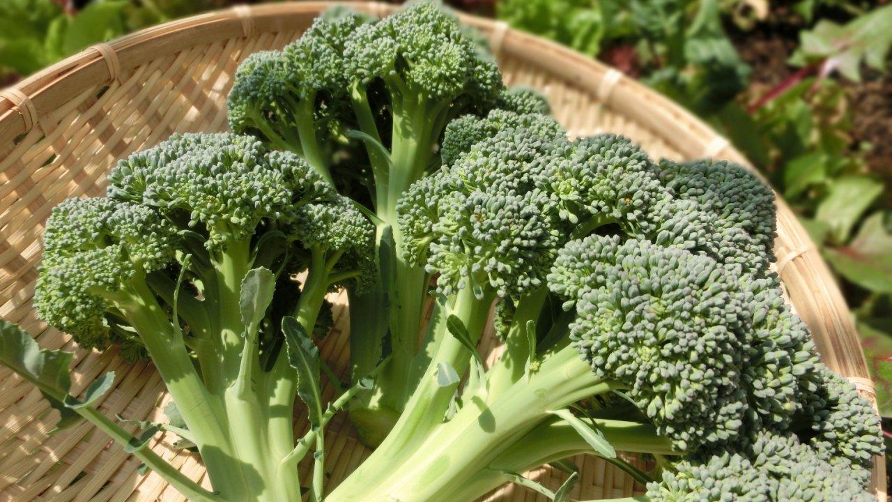 ブロッコリーの種まきから収穫までの育て方!栽培時期や病害虫対策の注意点など