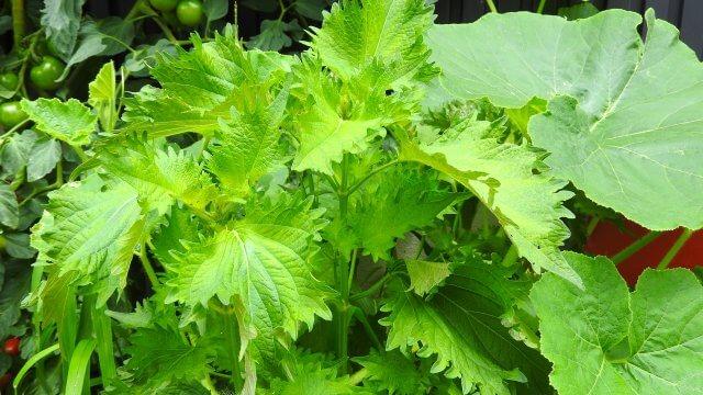 シソの種まき〜収穫までの育て方!栽培時期や病気・害虫対策についても!