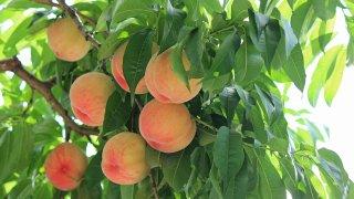 桃の育苗から収穫までの育て方!剪定方法や病気・害虫の対策など