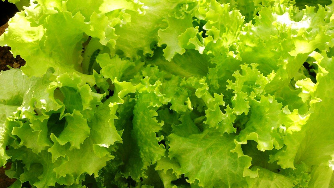 リーフレタスの種まき〜収穫までの育て方!栽培時期と病気・害虫の対策