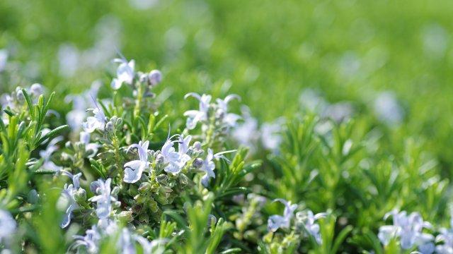 ローズマリーの育て方!栽培時期や増やし方・病害虫の対策まで