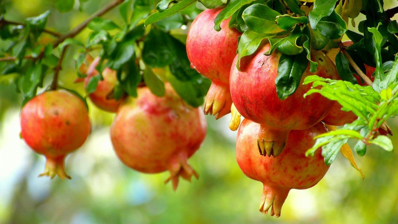 ザクロの種まきから収穫までの育て方!栽培時期や剪定方法・病気の対策について