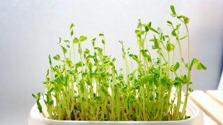スプラウトの種から収穫までの育て方!種類や栽培のポイントをご紹介!