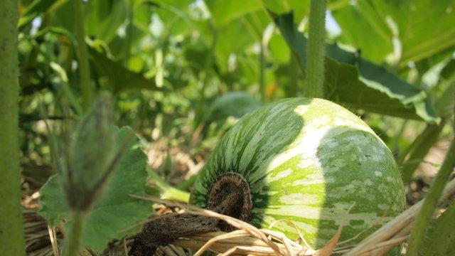 かぼちゃの種まき〜収穫までの育て方!栽培時期や整枝・追肥方法もご紹介!