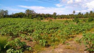 オクラの種まき〜収穫までの育て方!栽培時期と病害虫の対策