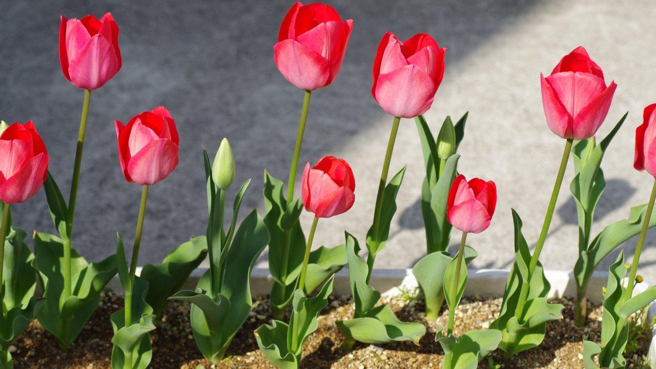 チューリップの球根からの育て方!栽培時期や花が咲いた後の手入れ・病害虫の対策など