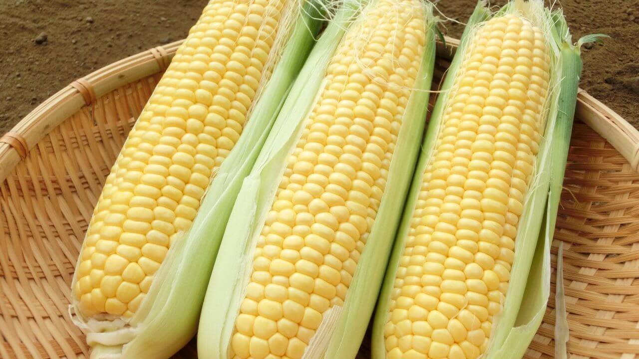 トウモロコシの種まき〜収穫までの育て方!栽培時期と害虫の対策