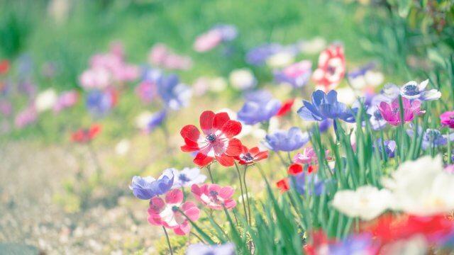 アネモネの種まきからの育て方!栽培時期や花が咲いた後の手入れについても