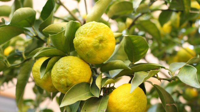 柚子の種まき〜収穫までの育て方!栽培時期や剪定方法・病害虫の対策