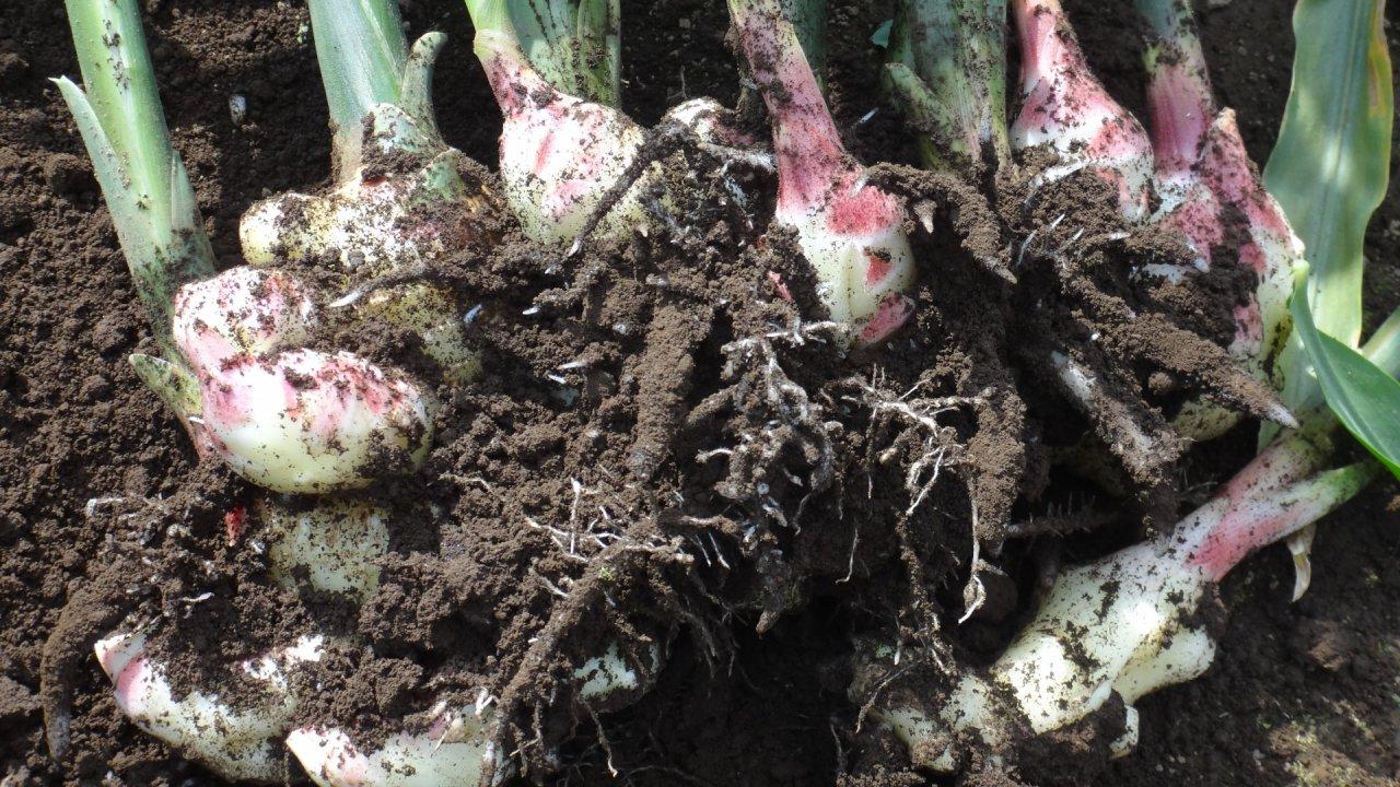 しょうがの育て方をご紹介!栽培時期や植え付け・病害虫の対策について