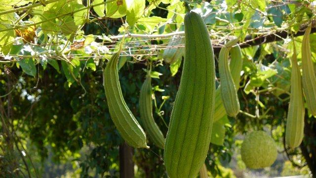 ヘチマの種まき〜収穫までの育て方!栽培時期や病気・害虫の対策について!