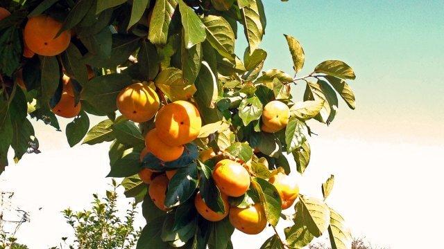 柿の苗育生から収穫までの育て方!栽培時期や病気・害虫の対策