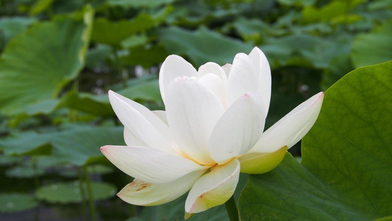 レンコン(蓮)の植付から開花・収穫までの育て方!栽培時期や病気・害虫の対策