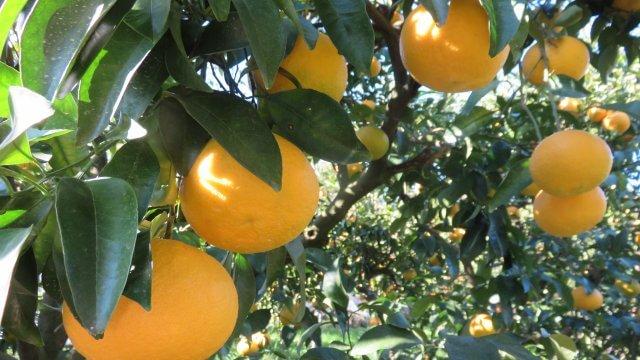 みかんの苗木の育成から収穫までの育て方!栽培時期や剪定、病気と害虫の対策まで