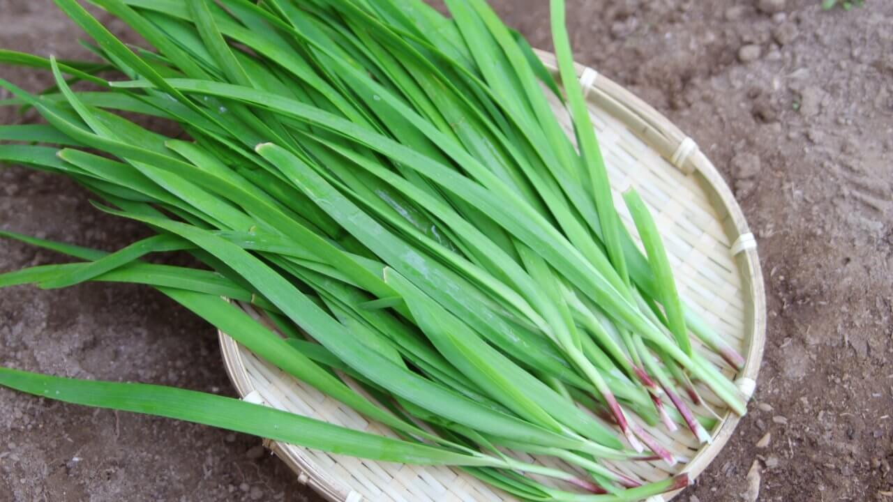 ニラの種まき〜収穫までの育て方!黄ニラの栽培方法や病気・害虫の対策も!