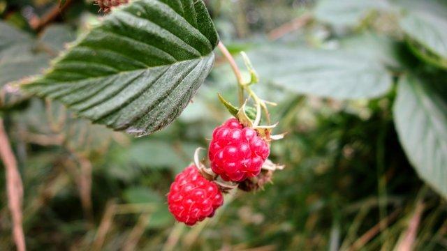 ラズベリーの苗から収穫までの育て方!栽培時期や剪定方法・病気の対策について