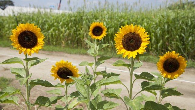 ひまわりの種まき〜収穫までの育て方!栽培時期や病気・害虫の対策もご紹介!