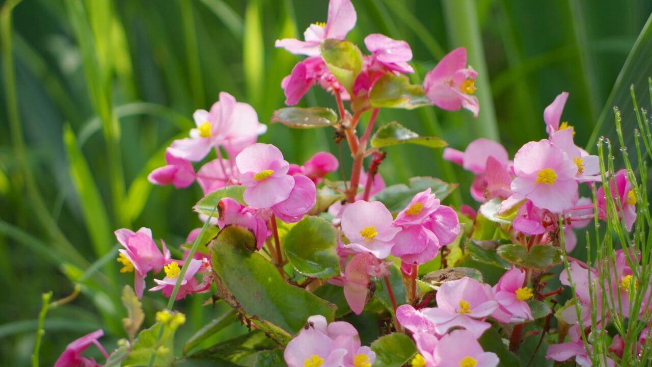 ベゴニアの種からの育て方!栽培時期と花が咲いた後の手入れ 病気・害虫対策