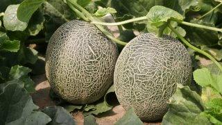メロンの種まき〜収穫までの育て方!栽培時期や摘芯の方法などもご紹介!