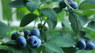 ブルーベリーの苗植え〜収穫までの育て方!栽培時期や剪定方法など