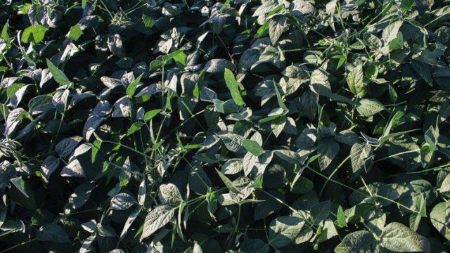 大豆の種まき〜収穫までの育て方!栽培時期や病気・害虫の対策など