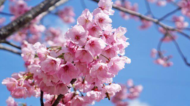 桜の苗木からの育て方!栽培時期や剪定方法などもご紹介!