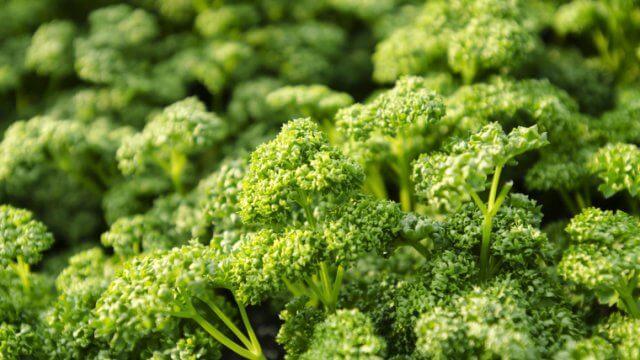パセリの種まき〜収穫までの育て方!栽培時期や病気・害虫の対策など
