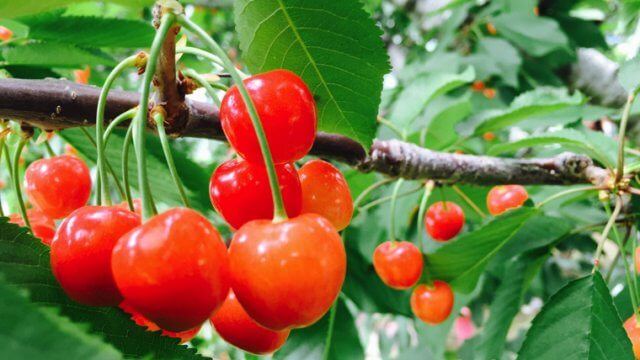 さくらんぼの苗から収穫までの育て方!栽培時期や病害虫の対策など