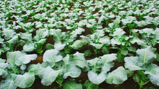小松菜の種まき〜収穫までの育て方!栽培時期や害虫の対策など!