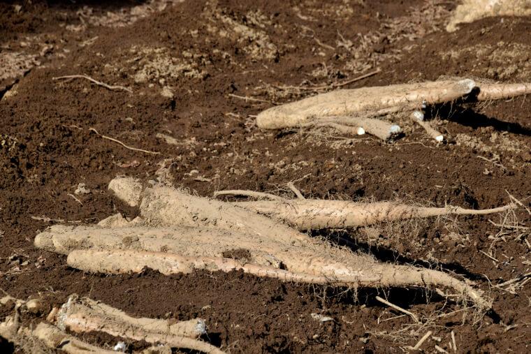 長芋の植え付け〜収穫までの育て方!栽培時期や支柱立てなど
