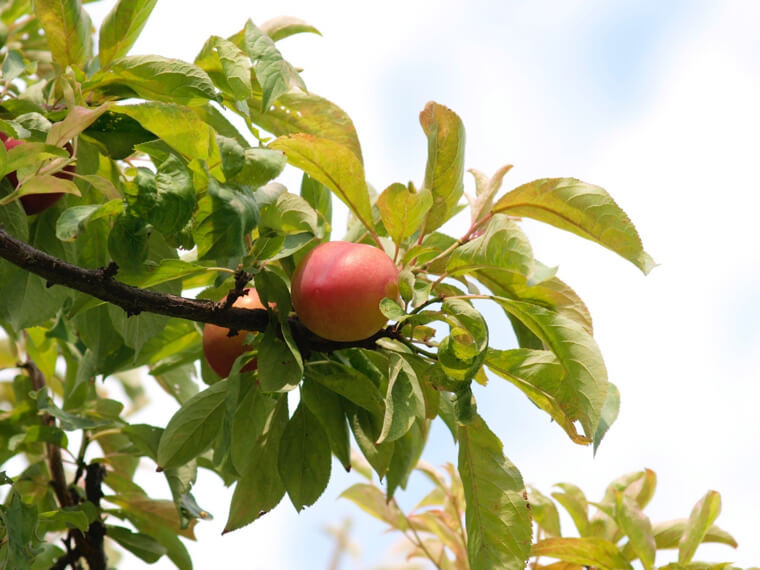スモモの苗からの育て方!栽培時期や病気・害虫の対策について