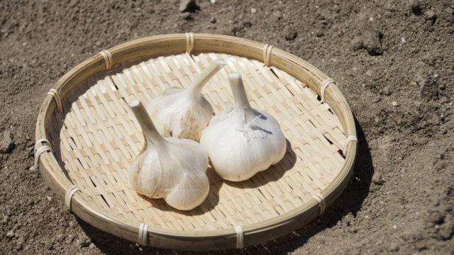 にんにくの種植えから収穫までの育て方!栽培時期や病気・害虫の対策など