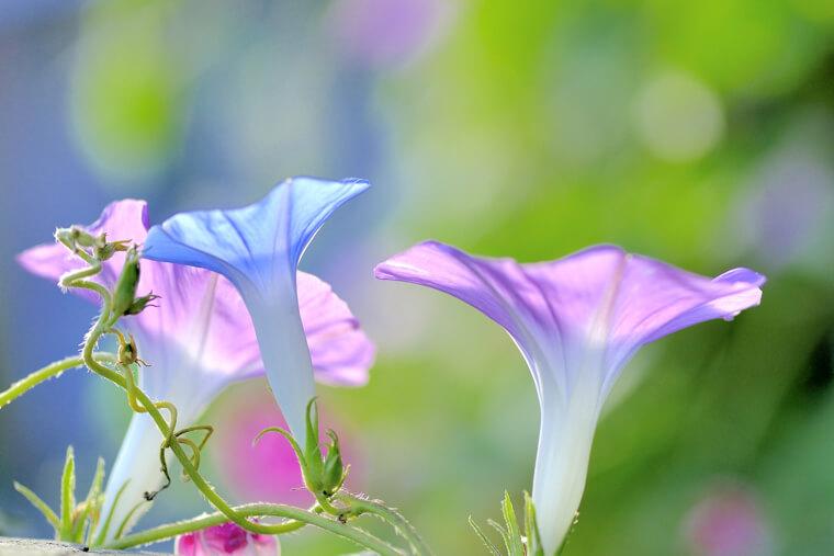朝顔の育て方(種まき〜花後・種の収穫まで)