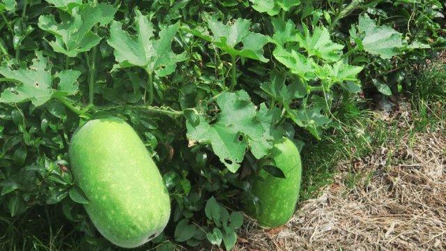 マクワウリの種まき〜収穫までの育て方!栽培時期や病気・害虫の対策など