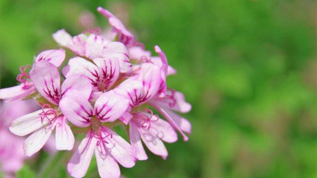 ゼラニウムの育て方!栽培時期や切り戻し・花が咲いた後の手入れなど