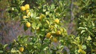 レモンの苗植えから収穫までの育て方!栽培時期や病気・害虫の対策など