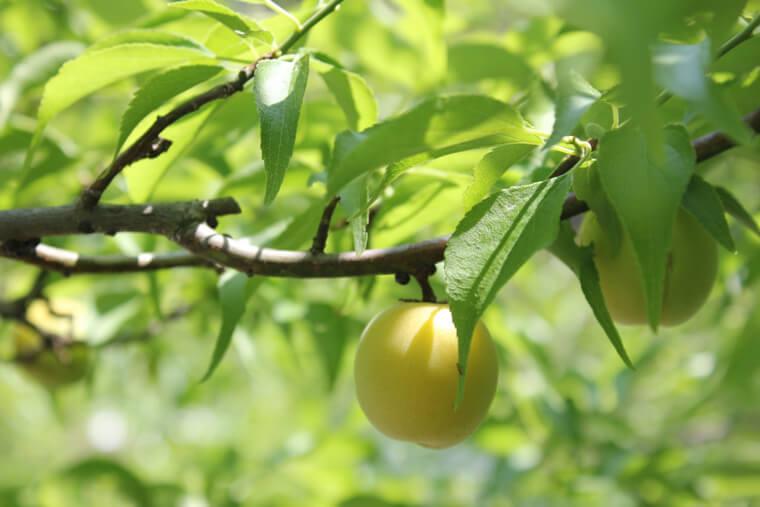梅の植付け〜収穫までの育て方!剪定方法や病気・害虫の対策など!