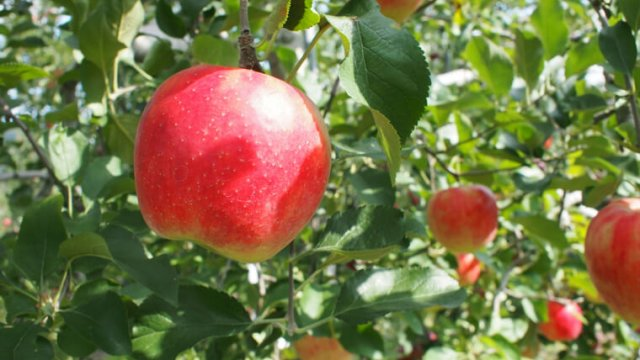 リンゴの植え付け〜収穫までの育て方!栽培時期や剪定方法について