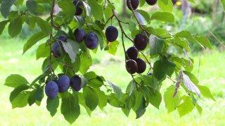 プルーンの種まき〜収穫までの育て方!栽培時期や摘果・剪定方法など